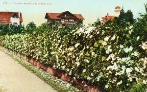 A hedge of Cherokee Roses on Arlington Drive